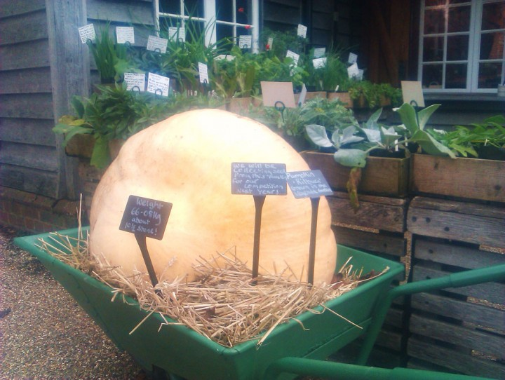 Giant-pumpkins-at-Sissinghurst